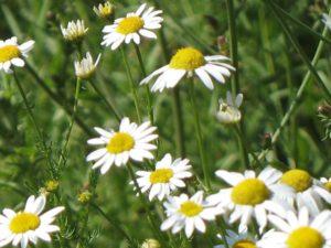 Blumen des Altais